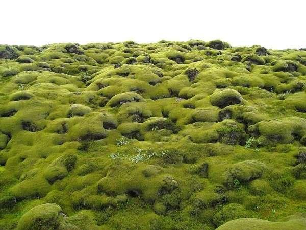 Мох в Исландии, Лавовые поля (2)
