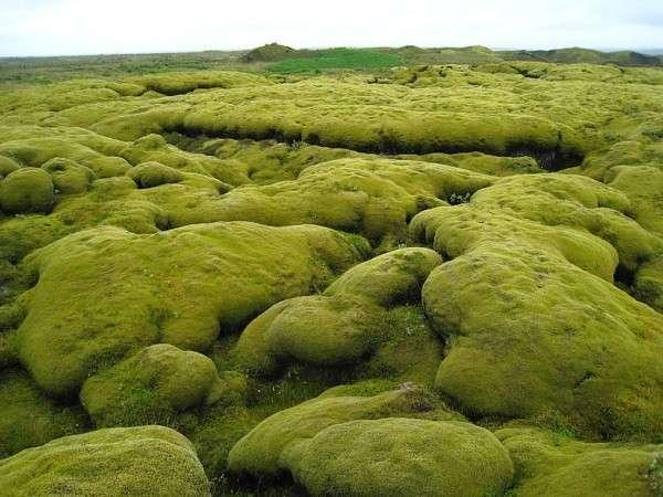 Мох в Исландии, Лавовые поля (3)