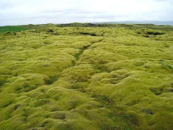 Мох в Исландии, Лавовые поля (4)