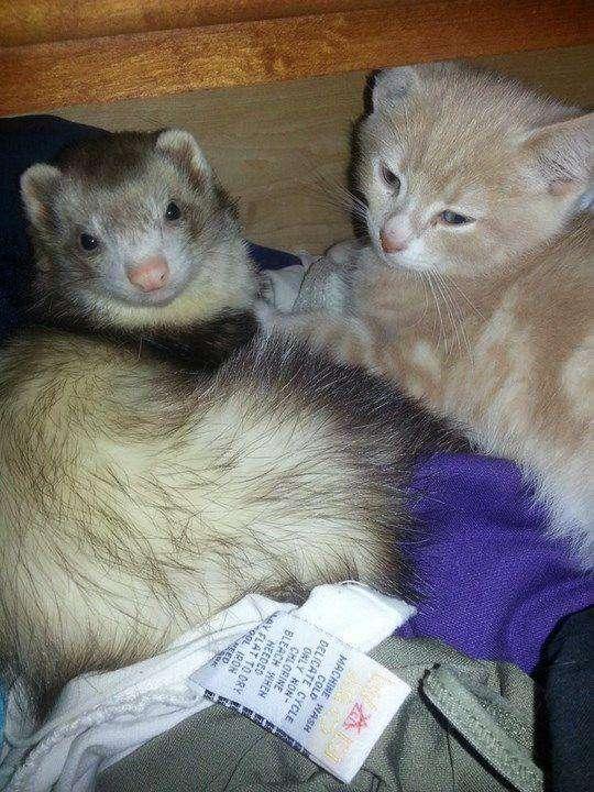 Дружба кошеня і тхорів (16 фото)