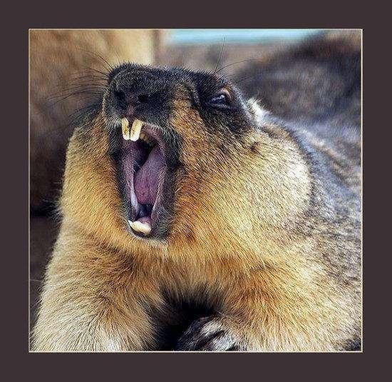 Позіхають тварини (18 фото)