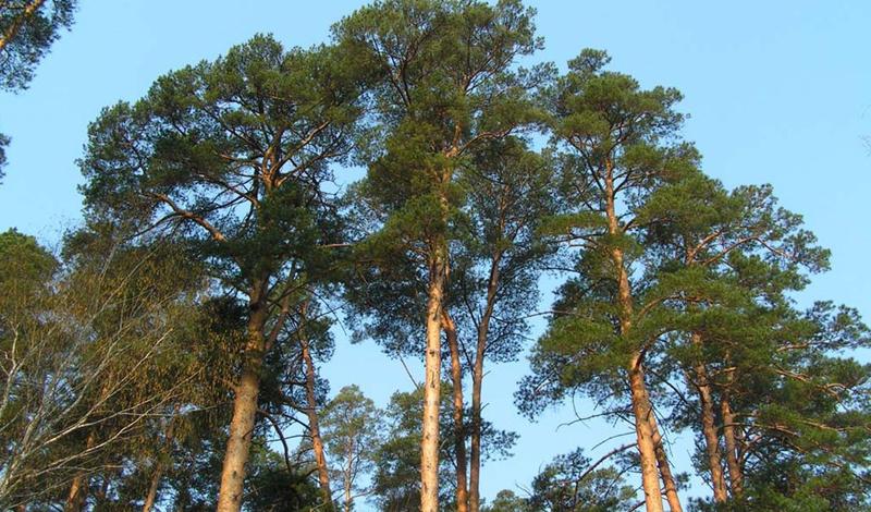 Ухожу в лес: 6 деревьев которые помогут заблудившемуся береза,дом,еда,заблудиться,культ,лес,леший,мокошь,перун,пища,Россия,славяне,Тренинг,щедрая душа
