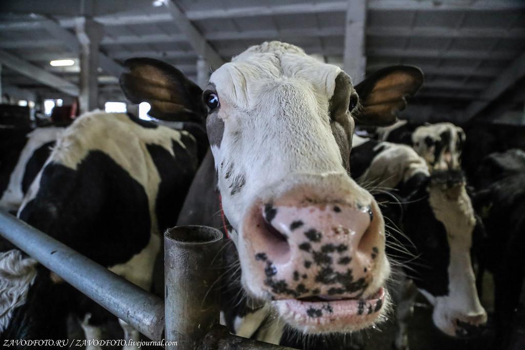 Самые молочные регионы России. Где живут коровы-трудоголики МОЛОЧНАЯ