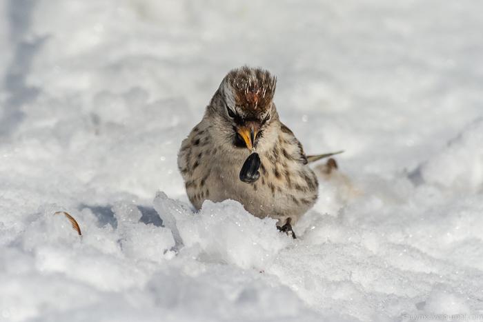 Птичий понедельник. Зима птиц на букву Ч: чечётка Саратов