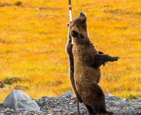 Они сошли с ума! Фотограф никак не мог понять, что делают два медведя гризли медведи