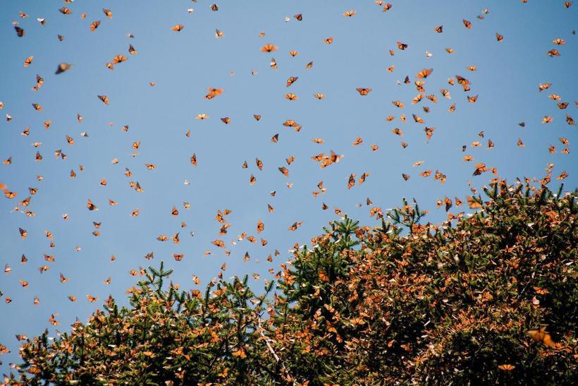 Миллиард бабочек в одном месте на Земле: заповедник бабочки монарх в Мексике авиатур