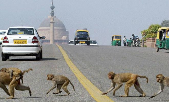 Тысяча обьезян устроила набег на индийский город животные