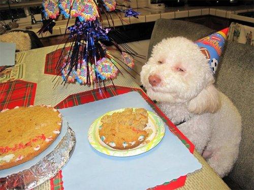 Домашние питомцы тоже любят отмечать свои дни рождения