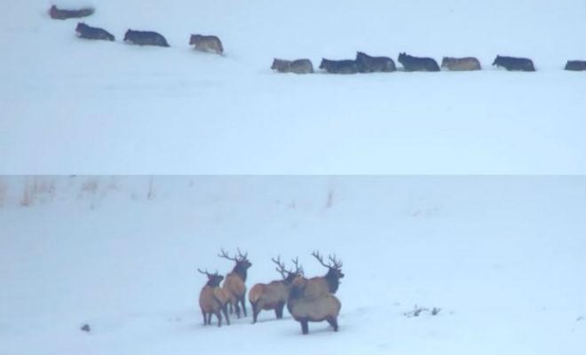 Олени дали отпор стае сибирских волков волки